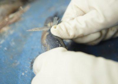 Unsere Fertigung - Holländischer Matjes ausgenommen und anschließend filetiert